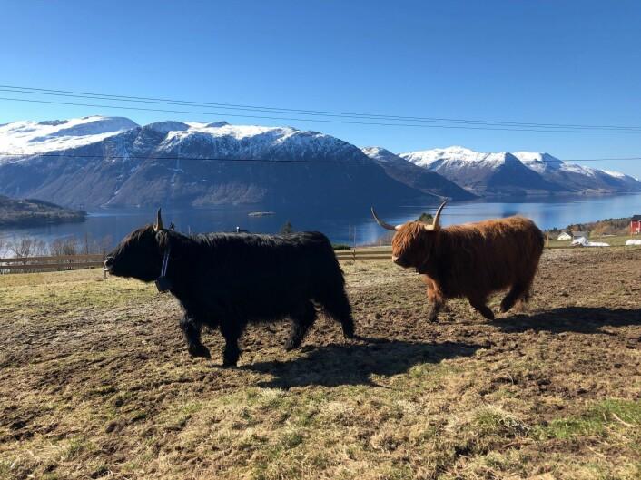 Skotsk høylandsfe med halsbånd fra Nofence. Foto: Privat