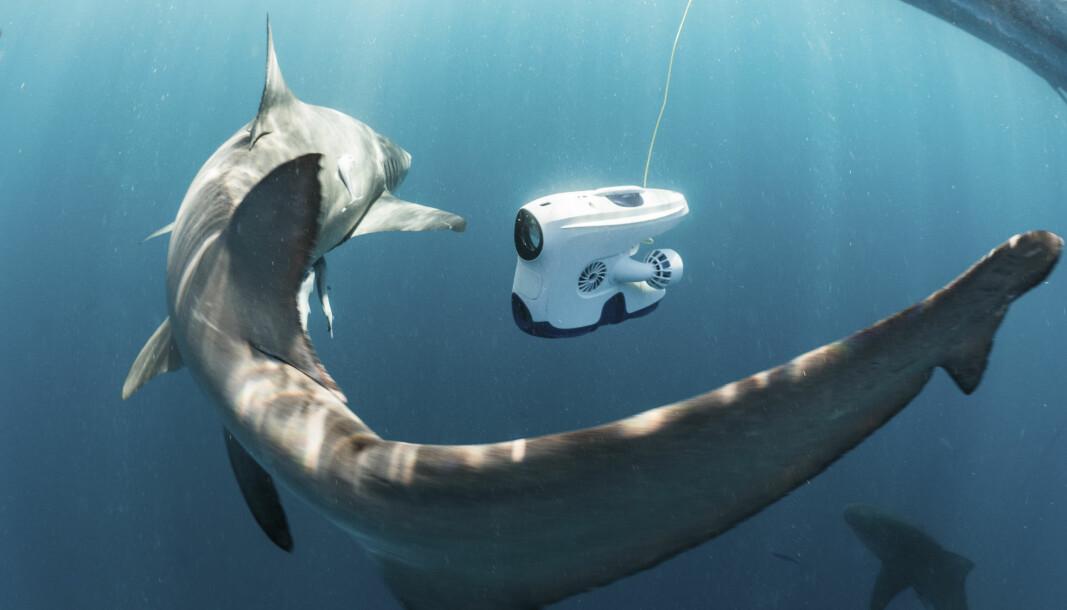 Undervannsdronen til Blueye kan brukes til så mangt, her til dykk med sitronhaier utenfor Jupiter i Florida.